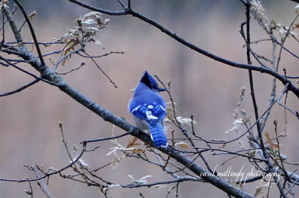bernheim bird